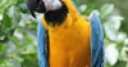 Jeu Blue and Gold Macaw Slider Puzzle