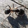 Jigsaw: Little Ant