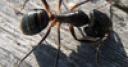 Jeu Jigsaw: Little Ant