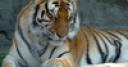 Jeu Sleepy Tigers Jigsaw