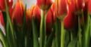 Jeu Tulips Jigsaw