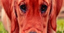 Jeu Weary red dogs puzzle